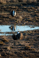 Sage Grouse Standoff